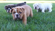 #EnglishBulldog #PuppyPlaytime #PuppyVideo #Thursday #BuckeyePuppies www.BuckeyePuppies.com Black English Bulldog, Mini English Bulldogs, Bulldog Puppies For Sale, English Bulldog Puppies, Cute Dogs Breeds, Dog Breeds, Blue Merle, Handsome, Bear