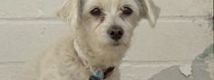 """Three-year-old pregnant Miss Bella had been overwhelmed with confusion and fright at the Carson Animal Care Center. The poodle and Maltese mix to have been available for adoption on November 14, quickly created a social media outrage. Very close to having her puppies, the dilemma worried advocates: """"Saving Carson Shelter DogsThe county policy is to …"""