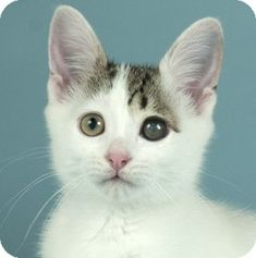 Chicago, IL - Domestic Shorthair. Meet Bingo, a kitten for adoption. http://www.adoptapet.com/pet/11313674-chicago-illinois-kitten