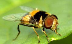 Hoverfly, Palpada sp.? Syrphidae