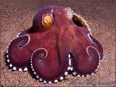 """""""(Coconut octopi are) the first invertebrate known to carry and maintain objects for future use.."""""""