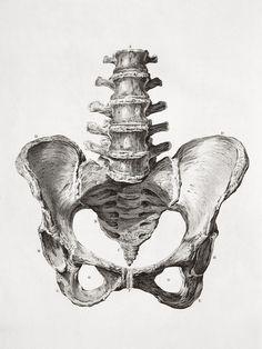human male pelvis bone scientific illustration