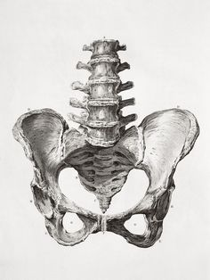 human male pelvis bone scientific illustration