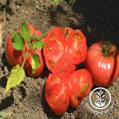 Tomato Garden Seeds - Mortgage Lifter - 1 Oz - Non-GMO, Heirloom, Vegetable Gardening Seed Tomato Vegetable, Tomato Garden, Tomato Plants, Vegetable Gardening, Heirloom Tomato Seeds, Heirloom Tomatoes, Alfalfa Sprouts, Sprouting Seeds