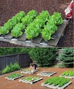pallets as garden rows. so clever.