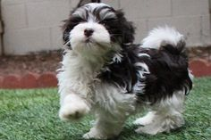 """Click visit site and Check out Cool HAVANESE Shirts. This website is top-notch. Tip: You can search """"your last name"""" or """"your favorite shirts"""" at search bar on the top. #Abyssinian #Cat"""