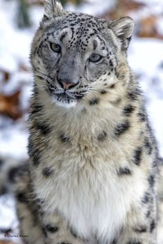 Photograph Female Snow Leopard Portrait (No Crop) by Charles Adams on 500px