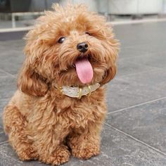 Cute Puppy Pictures You Will Love Puppy, dogs, animals, lovely puppies, cute dogs. Cute Baby Dogs, Cute Dogs And Puppies, Little Puppies, Cute Babies, Doggies, Toy Poodle Puppies, Red Poodle Puppy, Bichon Dog, Fluffy Puppies