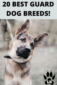The best guard dog breeds are those that stop at nothing to protect you, your family, and your possessions. When it comes down to which breed is best! #GuardDogs #Breeds #Best #Scary #Tibetan Mastiff #Training #Family #GermanShepherd #GreatPyrenees #Big #Doberman #Pitbull #Rottweiler #Names #ForWomen #Webtoon #CaneCorso