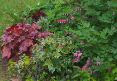 Photo of Beauty and hardiness grows in the shade. Heuchera, hellebores and bleeding heart are some of the beauties that grow easily in the shade. Shade Annuals, Shade Plants, Shade Flowers, Summer Flowers, Shade Garden, Garden Plants, Potted Plants, Flowers Perennials, Planting Flowers