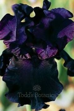 Cayeux Iris – specialist in irises for your garden. PAINT IT BLACK Relatively moderate-sized flowers that have a compact shape and excepti. Planting Plan, Planting Bulbs, Iris Flowers, Black Flowers, Black Perfume, Bleu Violet, Black Iris, The Bad Seed, Bearded Iris