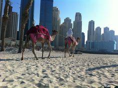 A camel on the Jumeira beach Dubai Things To Do, Turkey Tourism, Jerusalem Israel, New York Travel, Dubai Uae, Death Valley, United Arab Emirates, Istanbul Turkey, Wedding Humor