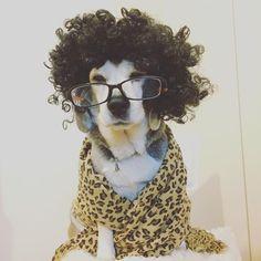 急性胃腸炎治りました。 お散歩には行かないけれど、ゆっくりソファで寝ています。 お見舞いのメッセージありがとうございました。 お父さんは今日も美容鍼で、患者様の若返りお手伝い中!  model:ぼー(本犬) fashion:ウィッグ(私物)・眼鏡(お父さん)・マフラー(お父さん)・ネックレス(私物) photo:お母さん ・ ・ #ビーグル #病み上がり #急性胃腸炎 #復活 #元気 #シニア犬 #犬のいる暮らし #家族 #愛犬 #コスプレ #正装 #オシャレ #ファッション #ピコ太郎 #PPAP #beagle #family #fashion #life #dog #happy #cute #美容鍼 #美容鍼灸 #若返り
