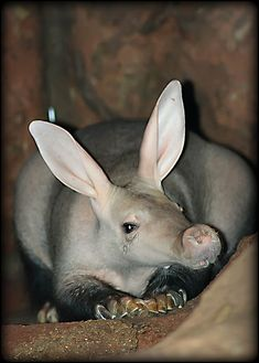 Aardvark, Brookfield Zoo ~ By Chris Bartnik Photography (BTW, animals should not be kept in zoos!)