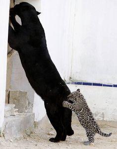 Jong van zeldzame zwarte Jaguar dolt met mama
