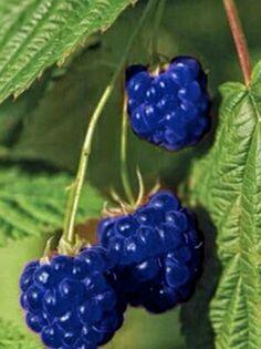 A Blue Raspberry