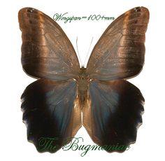 Brassolidae : Caligo brasilianus sulanus - The Bugmaniac INSECTS FOR SALE BUTTERFLIES FOR SALE INSECTS FOR SALE BUTTERFLIES FOR SALE BUTTERFLIES BY ECOZONE NEOTROPICAL ECOZONE BRASSOLIDAE