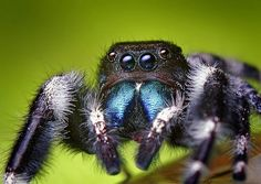 Adult Male Phidippus audax Jumping Spider These guys are so friggin' cool! Small World, Spider Face, Research Images, Insect Photography, Jumping Spider, Portraits, Mundo Animal, Animal Kingdom, Neko