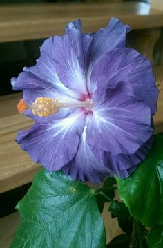 A purple hibiscus. I have never seen one before. Just think of the beautiful things we will see in the paradise.