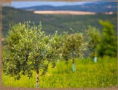 Olio | Azienda Agricola Montenigo