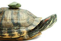 ♥ #turtle #turtles #tortoise