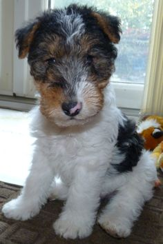 Billy the wire fox terrier pup
