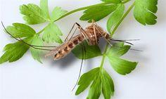 Aby komáři neštípali, stačí levná past na přírodní bázi - iDNES. Diy Deodorant, Sunscreen, Insects, Plant Leaves, Herbs, Plants, Ideas, Buxus