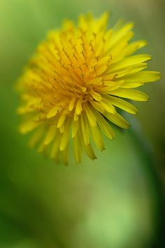 blooms-and-shrooms:      Dent de Lion by miles smile (on/off) on Flickr.     (via divinespirit3)