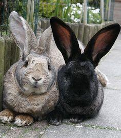 couple of Flemish Giant rabbits chilling. Giant Bunny, Big Bunny, Cute Bunny, Bunny Bunny, Funny Bunnies, Baby Bunnies, Bunny Rabbits, Dwarf Bunnies, Meat Rabbits