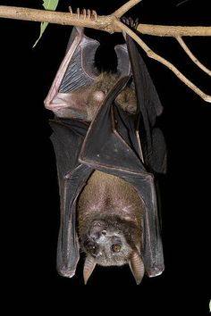 East fruit bat asian great south