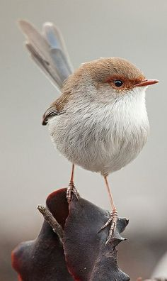 Superb Fairywren (Malurus cyaneus)
