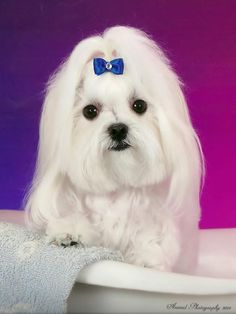 Cody keeps his hair in a puppy cut, not too long, not too short. Her has his hair done by Suzanne, www.poodlepenthouse.com