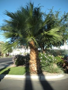 Welcome to the west coast (Arizona) where palm trees are plentiful!