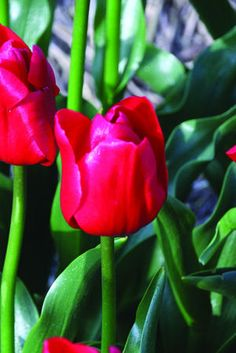"Unique de France - brilliant and shiny red, nicely formed tulips; its glossy green leaves, which is quite unusual for tulips, also draws your eyes; seems to be strong stemmed and a good grower; 12""-14""."