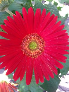 Red Gerber Daisy!
