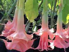 Brugmansia Angels Trumpet Double Pink Cream PINK PERFEKTION : Nope, not a typo...that's the correct name.   Emerald Goddess Gardens