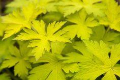 Geranium Ann Folkard - Amazing chartreuse foliage and intense magenta flowers!