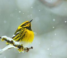 Townsends Warbler (Setophaga townsendi)