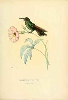 Ipomoea platensis Ker Gawl. Mulsant, E., Verreaux, E., Histoire naturelle des oiseaux-mouches, vol. 3: t. [1] (1877)