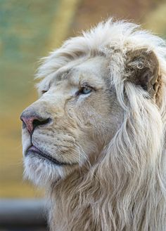 Lion father of Madiba and his name is Bouba. He was really looking proud on this picture!