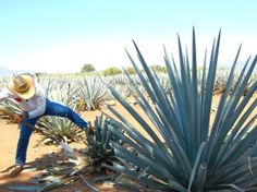The Blue Agave Harvest - Experience Tequila National Tequila Day, You And Tequila, Plant Needs, Shades Of Blue, The Great Outdoors, Plant Based, Coastal, America, Pictures