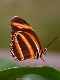 The Banded Orange Heliconian, also called as Dryadula Phaetusa is found in Brazil to Central Mexico.