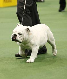 A beautiful white English Bulldog stomps its way around the show ring.