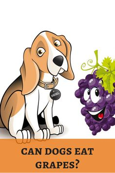 Grapes are juicy for humans. But, will it turn as poison for dogs? Save your dog! http://dogbabe.com/can-dogs-eat-grapes/