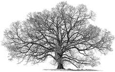 Big Tree Studio Wab Page TravilahOak