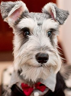Dapper schnauzer....... I just had miniature Schnauzer puppies looove these pups!