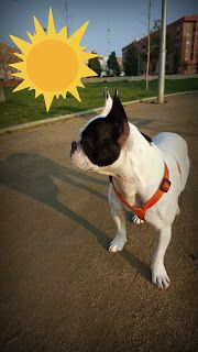 Hope the frenchie: Spring has started (ENG-SPA)