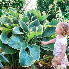 "Giant Hosta ""Minke"""