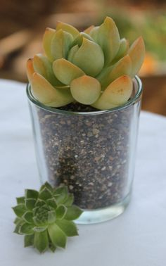12 Gorgeous Rosette Succulent Cuttings with 12 Beautiful Round Glass Votives Complete Wedding Favor Kit succulents party gifts. $36.00, via Etsy.