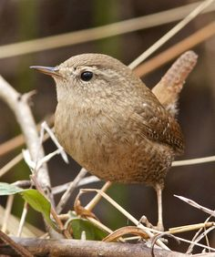 Winter Wren by Holly Cybelle